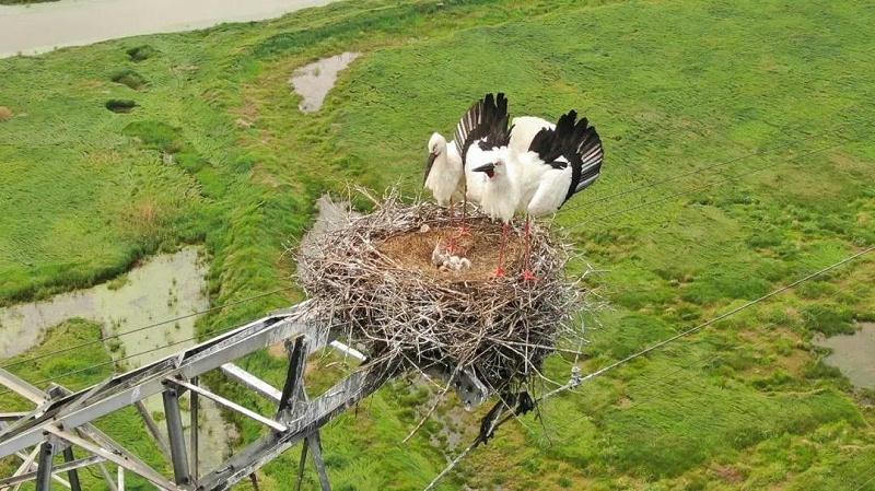 鸟儿在高压线上筑巢