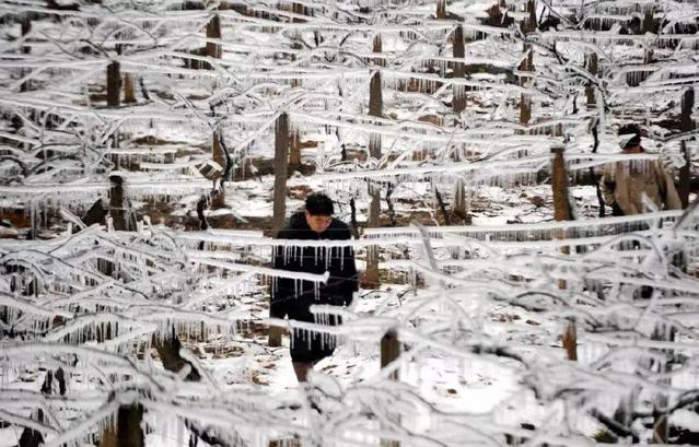 2008年2月4日,湖南郴州苏仙区一位村民从结冰的葡萄架下走过(图片来源:新华社)